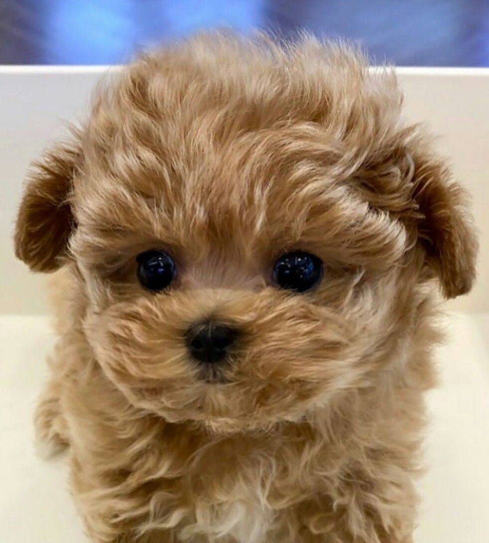 Pin by enticing on malti poo love in 2020 Teddy bear