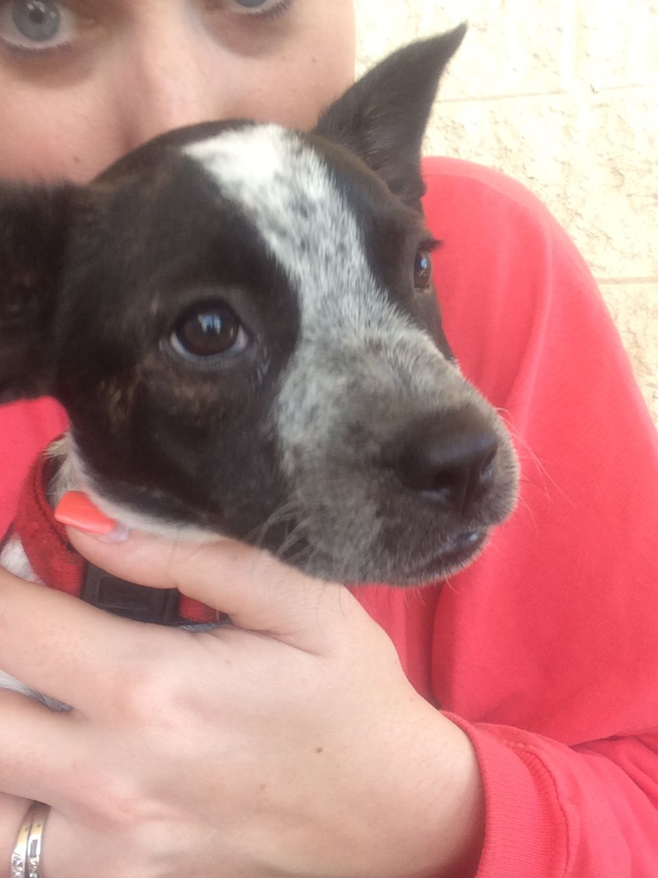 Our new fur baby! Blue heeler boston terrier mix! She's