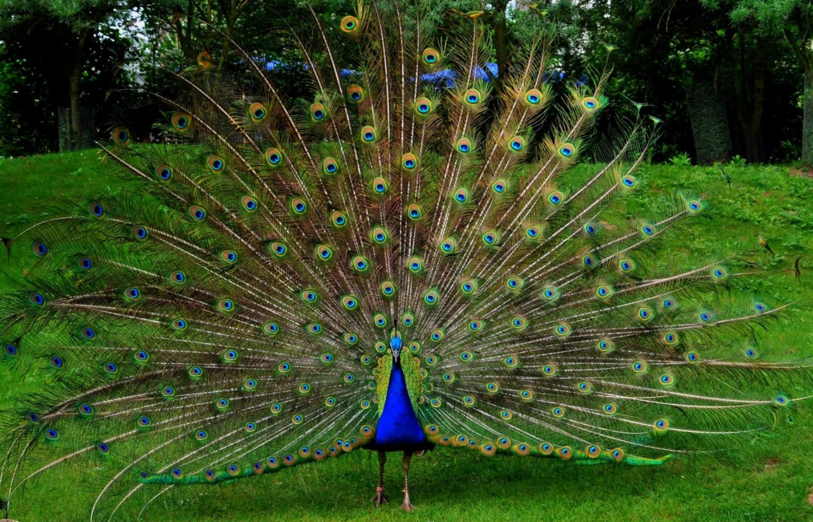 Top Most Beautiful And Dreamy Places Wallpapers In Hd Mother Peacock Images Animal Wallpaper Peacock Wallpaper