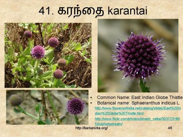 41 கரந த Karantai Herbal Plants Flowers Flower Names