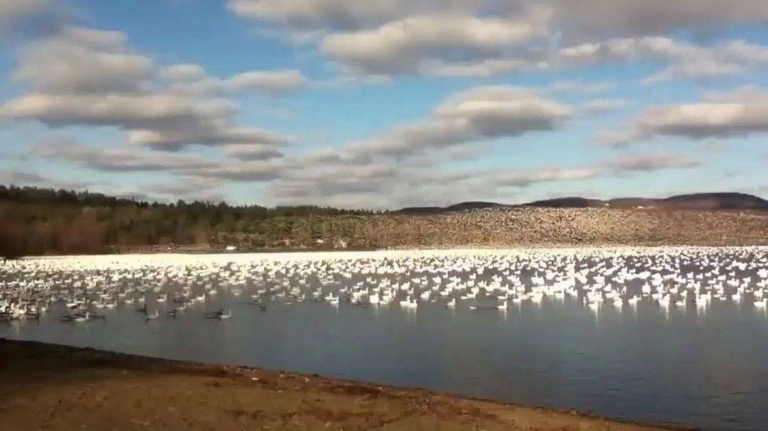 مشهد خيالي لآلاف الطيور من أوز الثلج تحلق معا في سرب واحد ومنظم مشكلة لوحة خلابة فوق بحيرة ماساويبي بمقاطعة كيبيك في كندا Instagram Video Instagram Outdoor