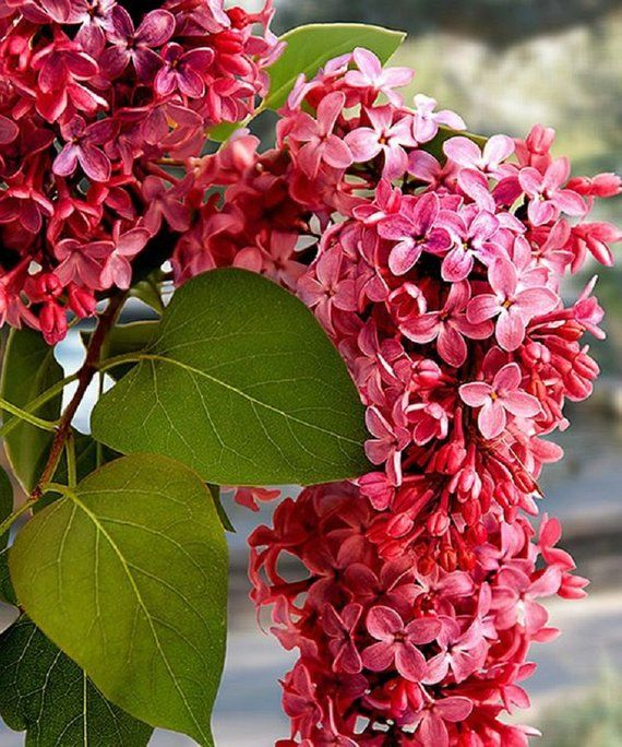 25 Pink White Lilac Seeds Tree Fragrant Hardy Perennial Flower Shrub Bloom Spring Early Summer Deciduous Attracts Butterflys Plumeria Seed Flowers Perennials Lilac Bushes Lilac