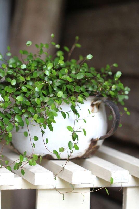 love the tiny white flowers vine house plantsflowering - White Flowering House Plants