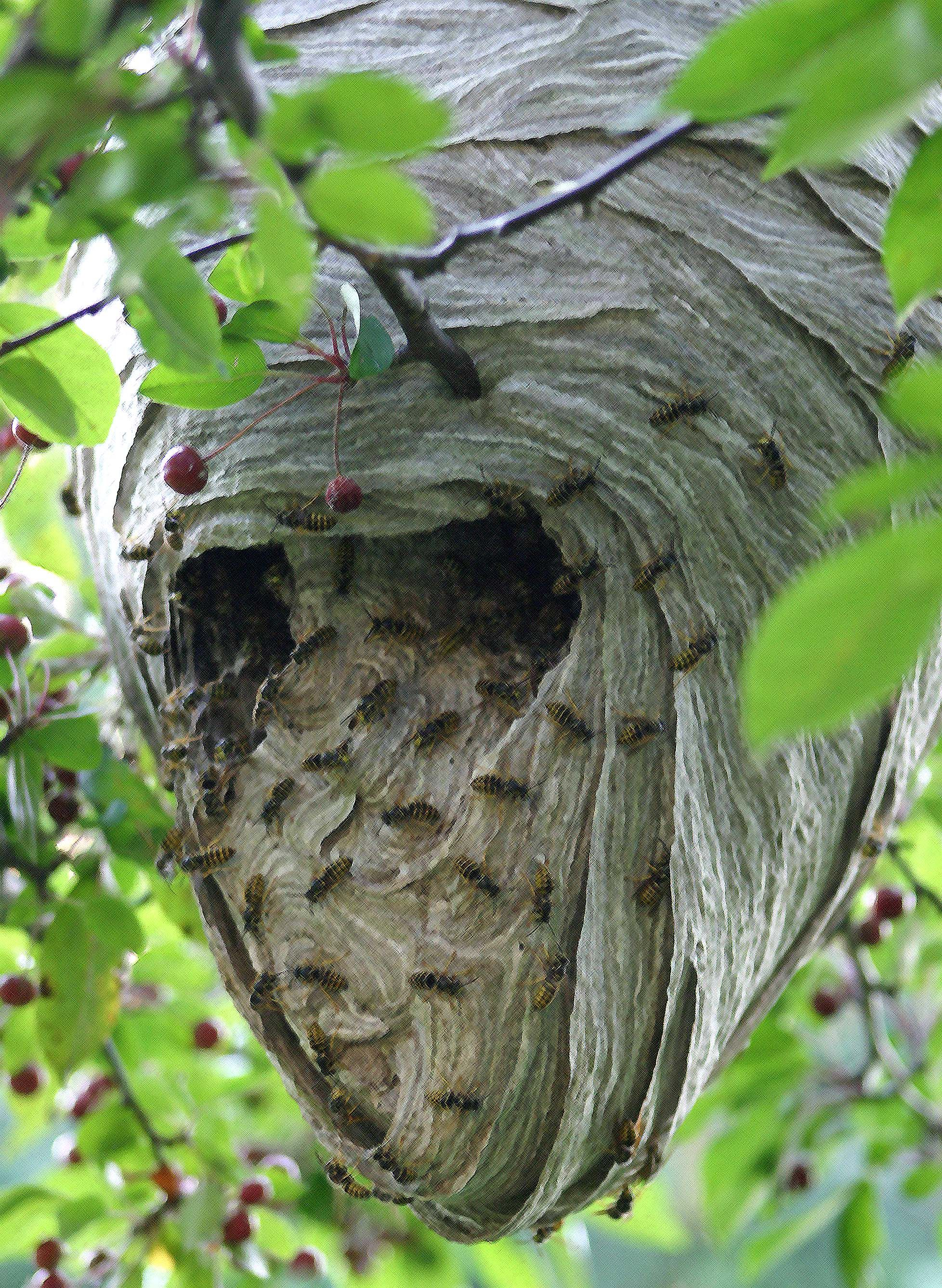 Paper wasp nest. We have two of these to deal with this ...