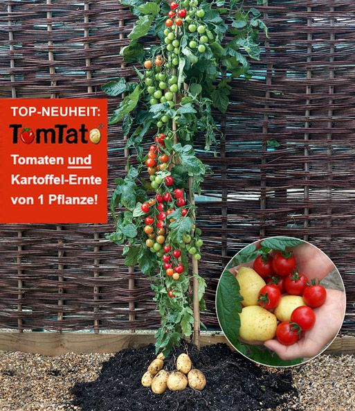 tomtato tomate kartoffel gr ne beete der gartenblog auf eat smarter pflanzen garten. Black Bedroom Furniture Sets. Home Design Ideas