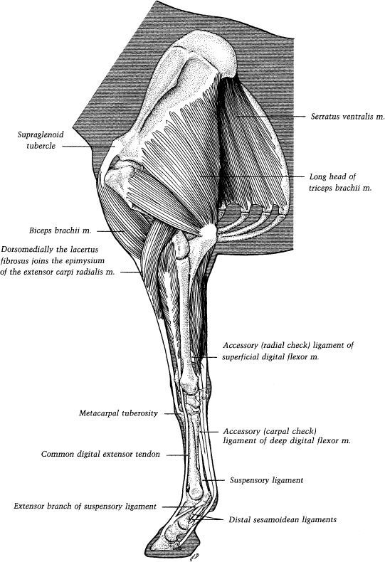 ch01-fig1-22.jpg | equine anatomy | Pinterest | Anatomy, Horse and ...