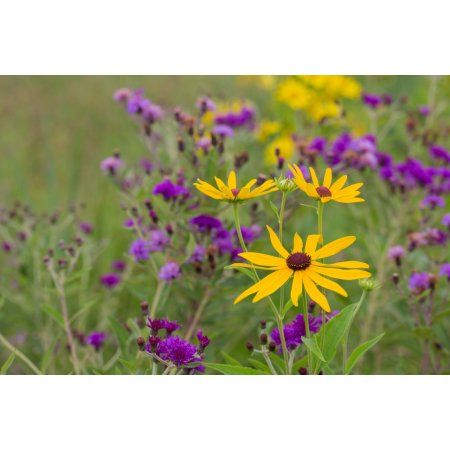Close-up of Sweet Black-eyed Susan (Rudbeckia subtomentosa) and Missouri Ironweed (Vernonia missurica) flowers blooming in a garden Marion County Illinois USA Canvas Art - Panoramic Images (24 x 36)