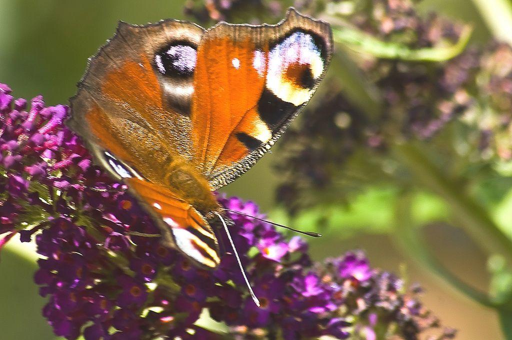 https://flic.kr/p/8kY6cZ | in the sun / in de zon | ...and aren't my wings nice?   //   ...en zijn m'n vleugels niet leuk?