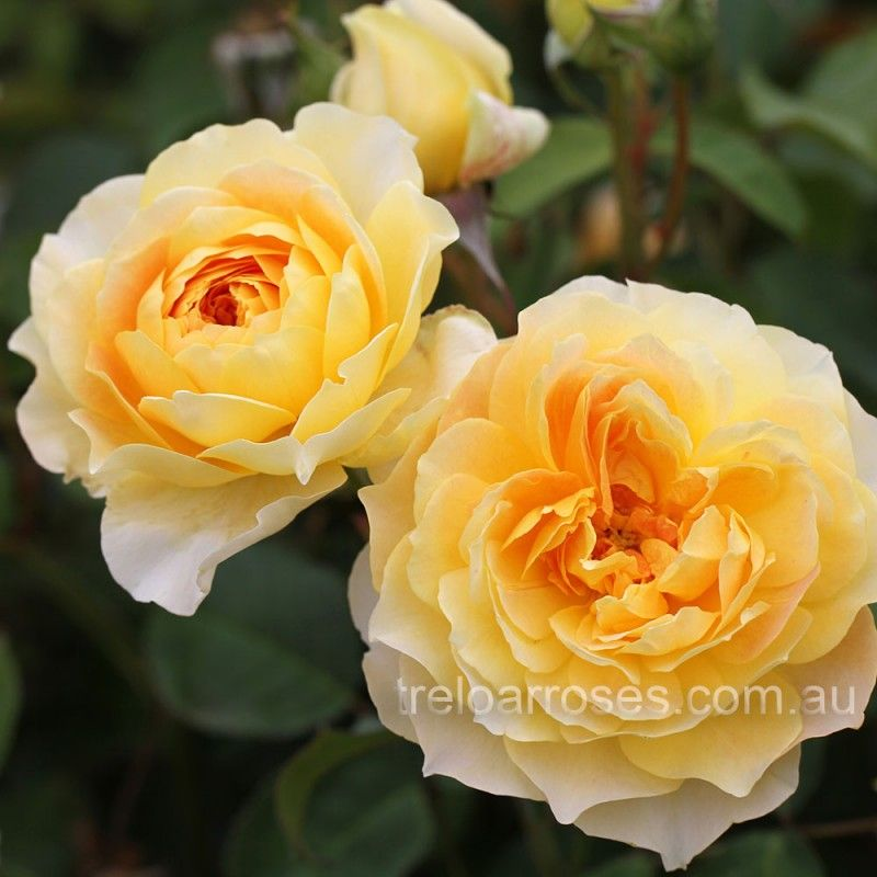Molineux English Rose David Austin David Austin Roses