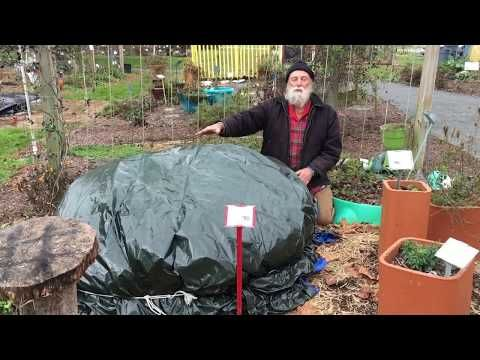 MG Minute: Overwintering a Tropical Elephant Ear Plant (Part II) - YouTube #elephantearsandtropicals