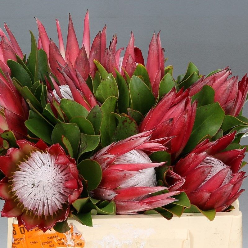 Proteas Wholesale Flowers Uk Wedding Flowers Protea