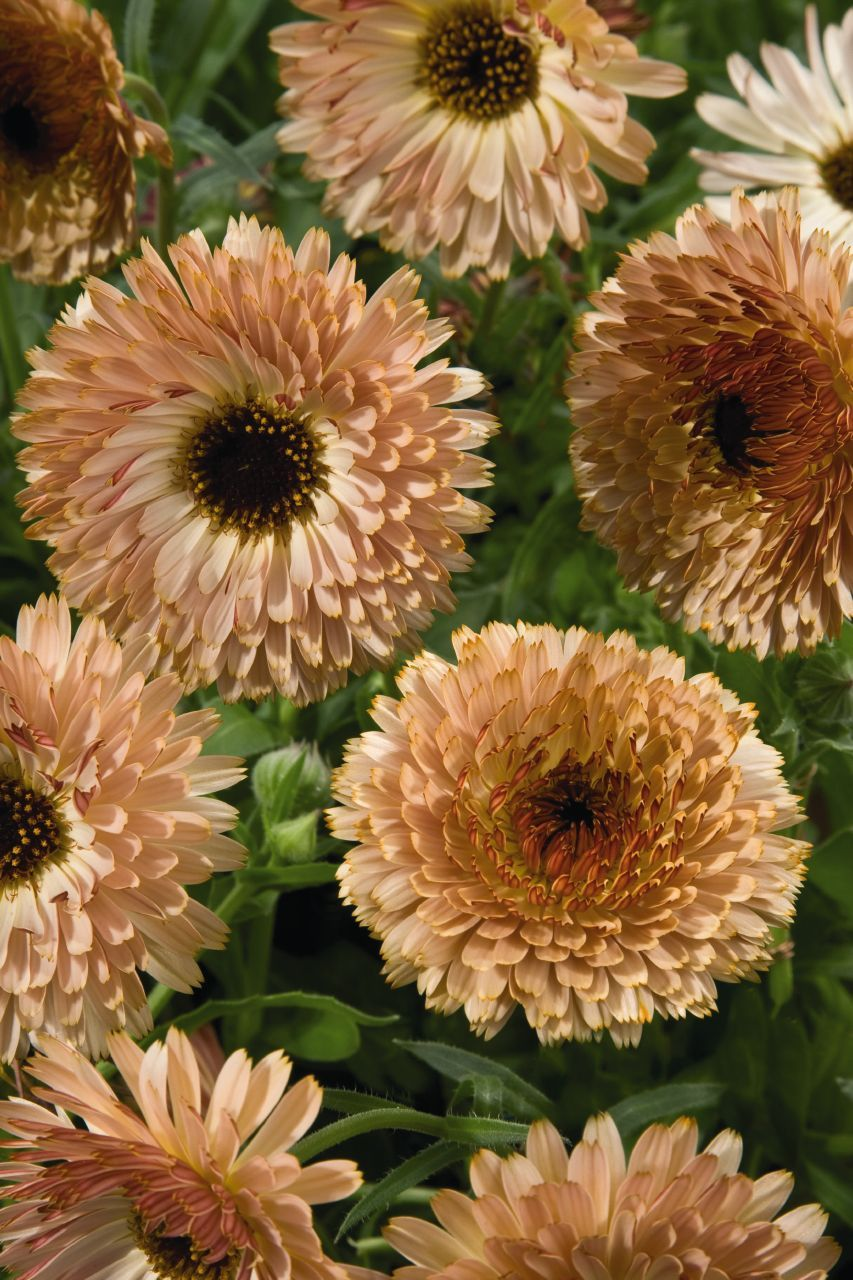 calendula touch of red, buff (ordered from GEO) Flower