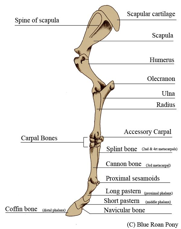Blue Roan Pony Leg Bone Anatomy Horse Anatomy Dog Anatomy Horses