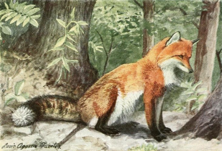 Fuertes, Louis Agassiz (1874-1927) - Burgess Animal Book for Children 1920 (Fox). #vintage, #animals, #fox