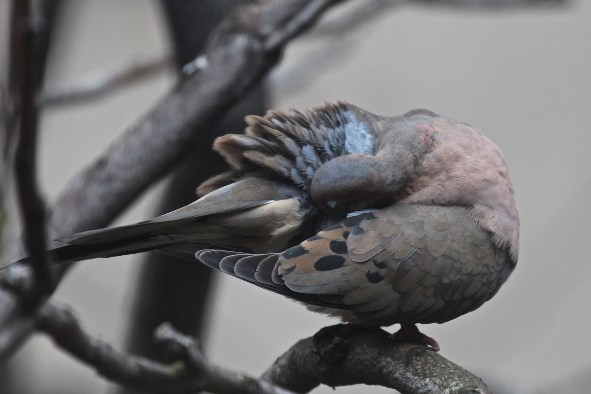 """Today, April 30th, is also known as Hairstyle Appreciation Day. It seems members of the Zenaida macroura (mourning dove) family appreciate """"hair styling"""" every day, as evidenced by how meticulously they preen their feathers! Info @ https://www.facebook.com/TheLastLeafGardener/posts/815030551879653"""