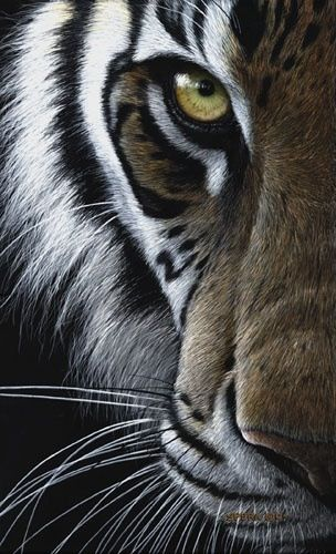 Tiger Eye Tigers Felin Animaux Felin Sauvage
