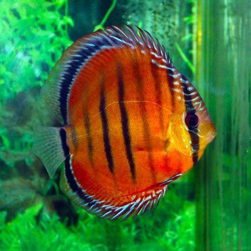 Alenquer Red Discus Fish 2 Arizona Aquatic Gardens Discus Fish For Sale Discus Fish Tropical Freshwater Fish