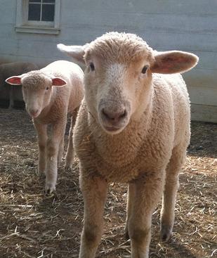 Merino Wool Sheep Virginia Merino Sheep Breeds Are Fine Wool Sheep Found In Australia South Africa South America And Sheep Breeds Sheep Fluffy Critter