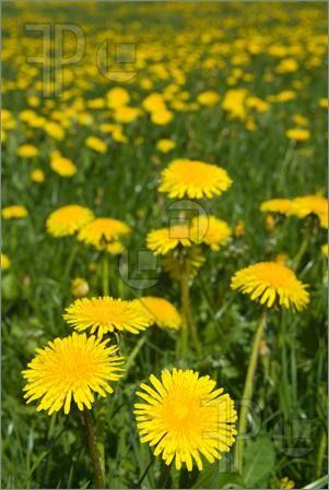 Dandelion Field Dandelions Field Spring Flowers Dandelion Dandelion Flower Dandelion Benefits