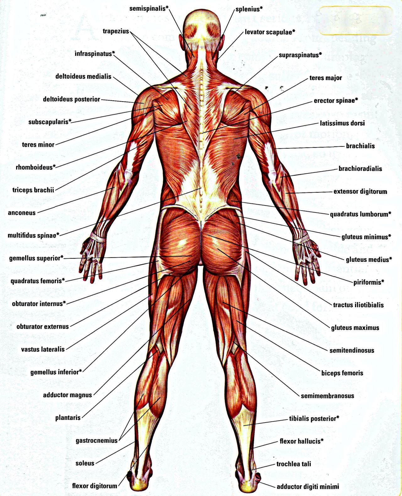 Body Organs Diagram From Back Wiring Diagram Data Nl