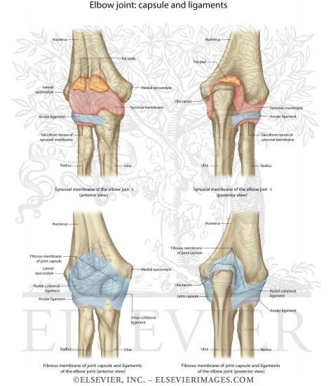 Radial Collateral Ligament Elbow - Health, Medicine and Anatomy ...