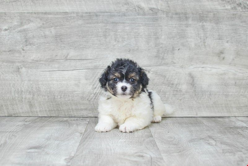 Havanese Puppies For Sale Small Purebred Havanese Puppies For Sale In Ohio Havanese Puppies For Sale Havanese Puppies Puppies