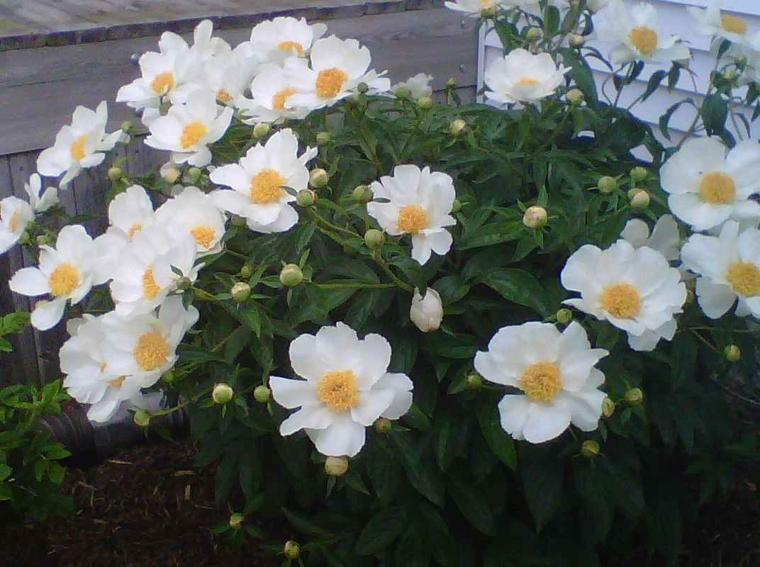 peonies, short lived but beautiful