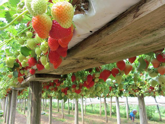 Hanging Strawberries From A Repurposed Gutter Strawberry Plants