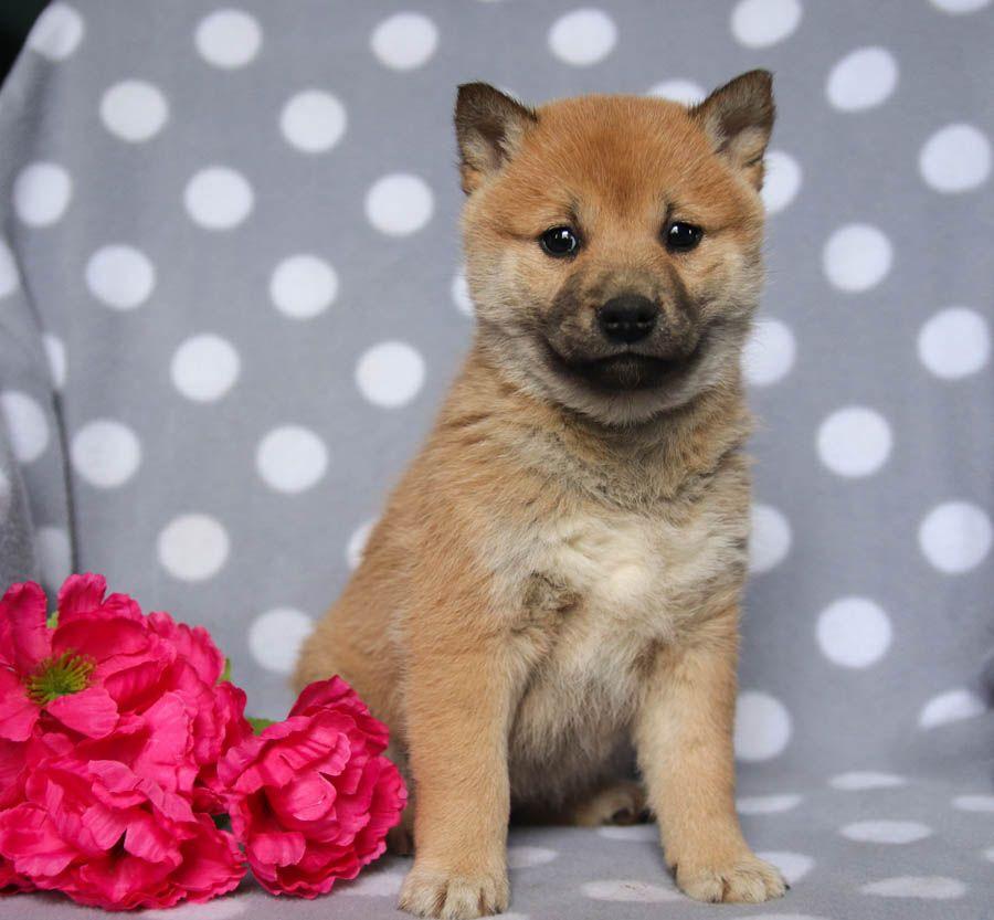 Sweet Shibainu Puppy Dog Pictures Cute Animals Dog Friends