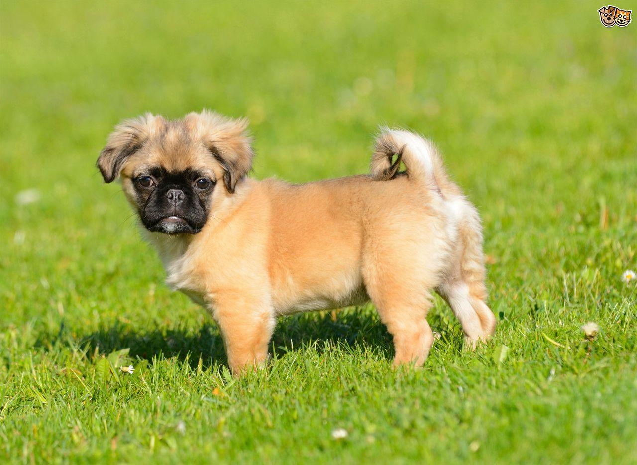 Fluffy Chug Chihuahua Pug Chug Dog Dog Breeds Pug Mixed Breeds