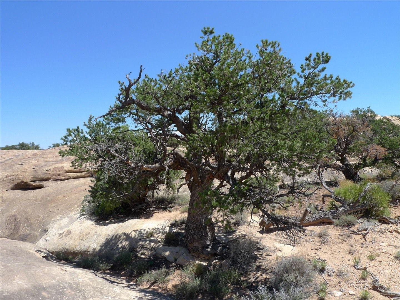 Pinus Cembroides  Mexican Pinon Pine