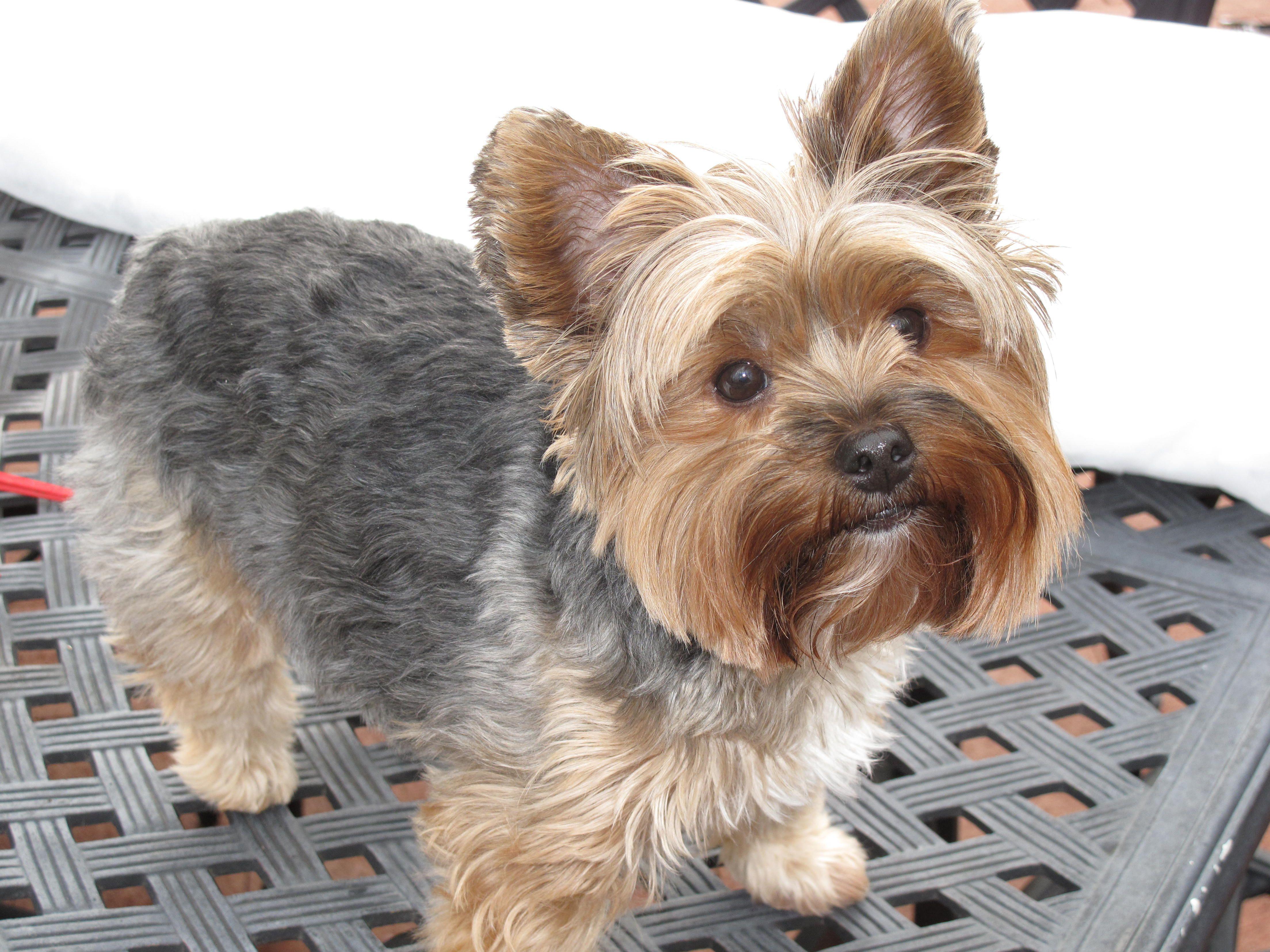 short yorkie haircut with teddy bear head. | pet lover | pinterest