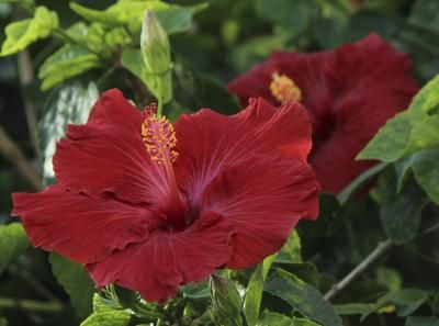 Why Are My Hibiscus Leaves Turning Yellow Ehow Hibiscus Plant Hibiscus Leaves Hardy Hibiscus