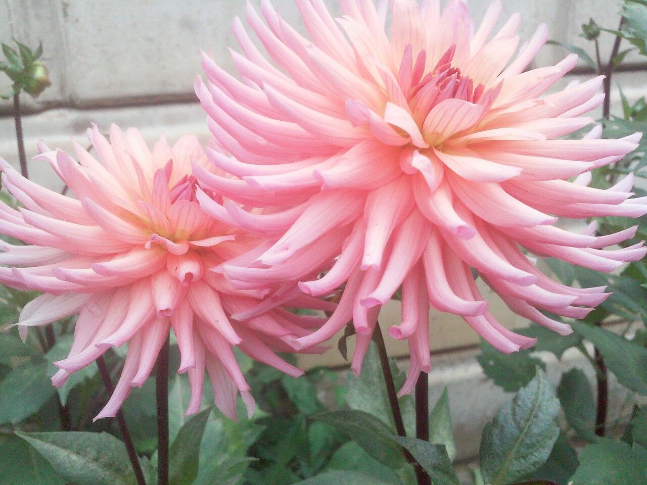 Dahlias Are Simple Yet Pretty Flowers Photography Flowers