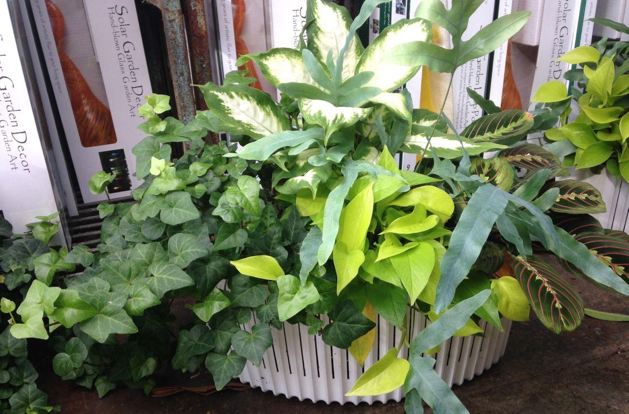 Gardening Indoor Tropical Plants for Winter Indoor