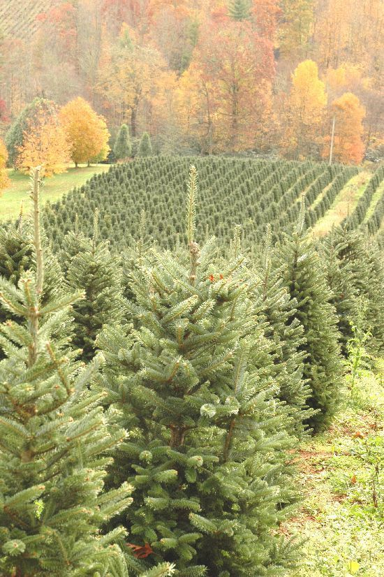 Did You Know The Fraser Fir Christmas Tree Is Endangered Fir Christmas Tree Christmas Tree Farm Fraser Fir Christmas Tree