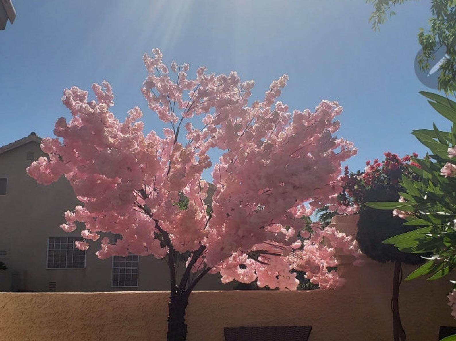 Okame Cherry Tree In 2021 Cherry Tree Flowering Cherry Tree Blossom Trees