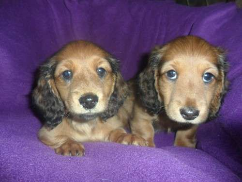 Miniature Long haired puppies for sale to loving homes. 2