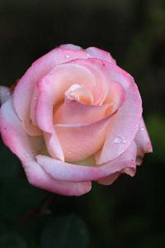 arizona roses plant rose ehow plants desert landscaping garden flowers growing grow planting backyard climbing landscape