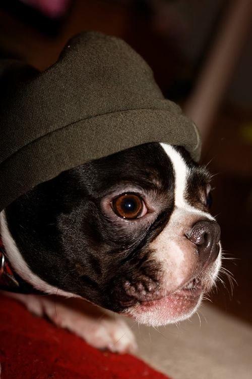 Rocking His New Hoody Boston Terrier Boston Terrier Dog Boston Terrier Love