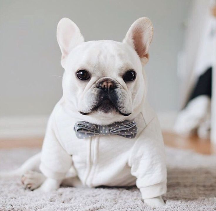 Theo Bonaparte French Bulldog In A Pipolli Bowtie