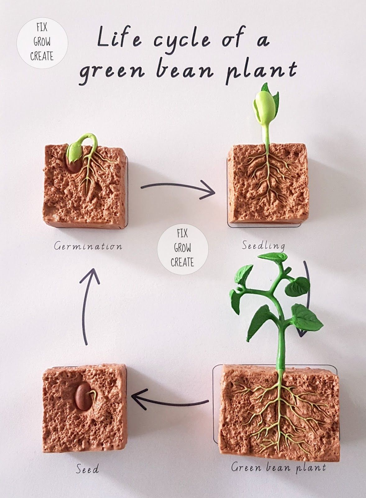 Free Life Cycle Of A Green Bean Plant From Fixoweate