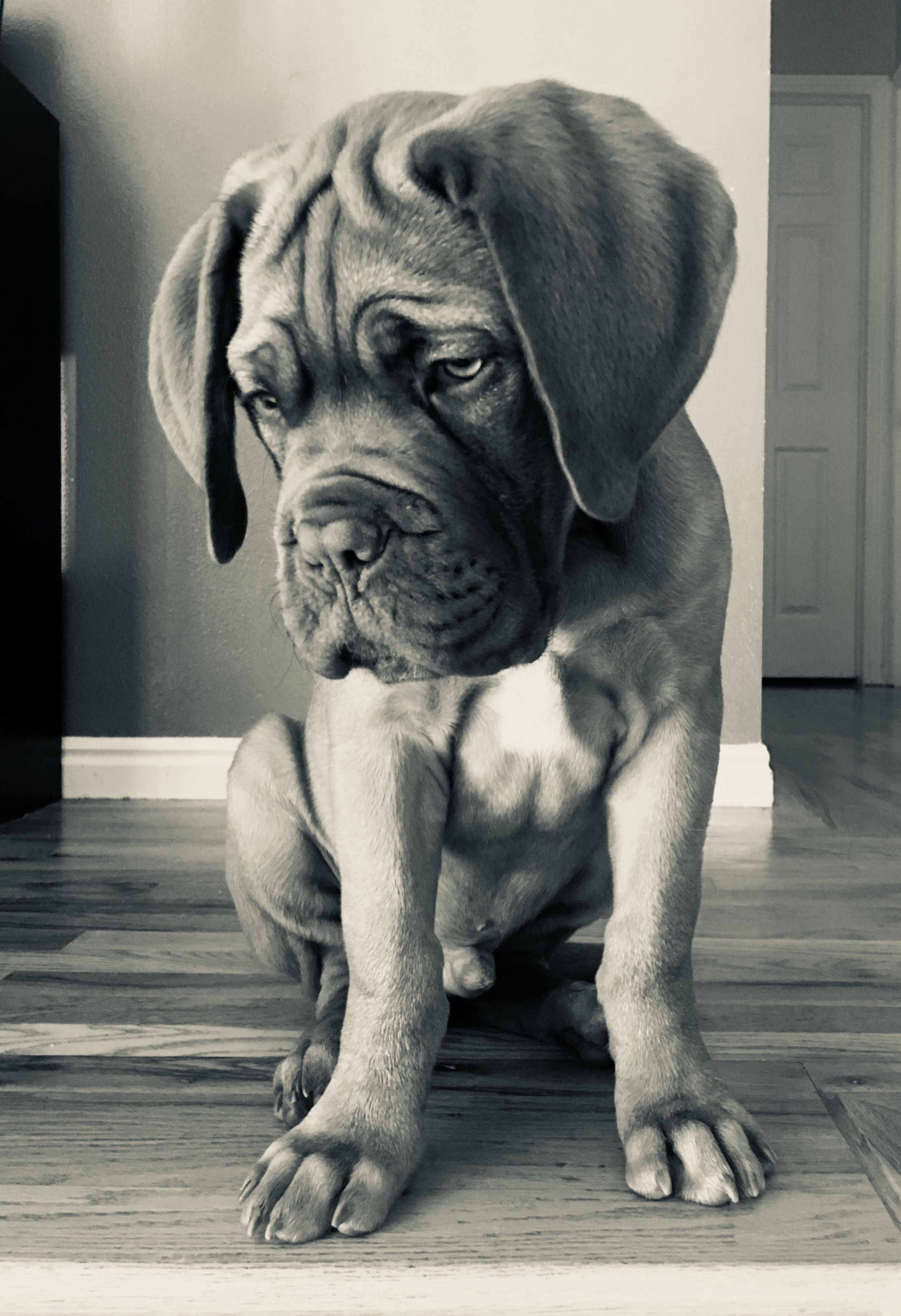 The Smooshiest Face Beautiful Baby French Mastiff Cute Dogs Dogs Cute Animals