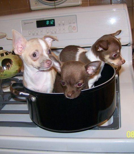 Yum Chihuahua Stew Food Animals Chihuahua Pets