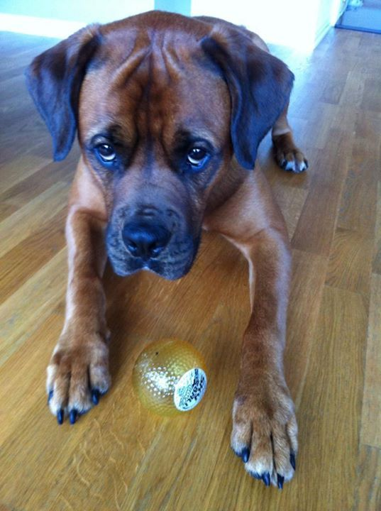 Boxweiler Can I Have The Ball Pup Dog Breeds