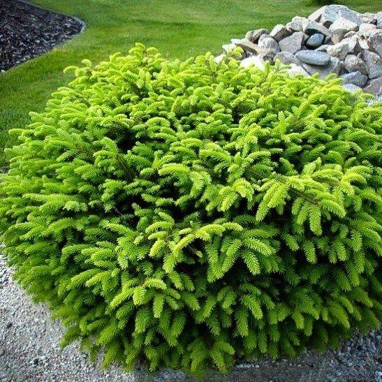 Bird 39 s nest spruce full sun h 2 4 39 w 3 5 39 zone 4 9 for Small flowering shrubs for full sun