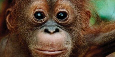 The Plan to kill Orangutans