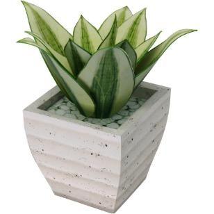 "Ornamental plant : Sansevieria ""Golden Hahnii"",Decorative,Paper Craft,Interior ,potted plant,green,Plant ,ornamental plant,Pot"