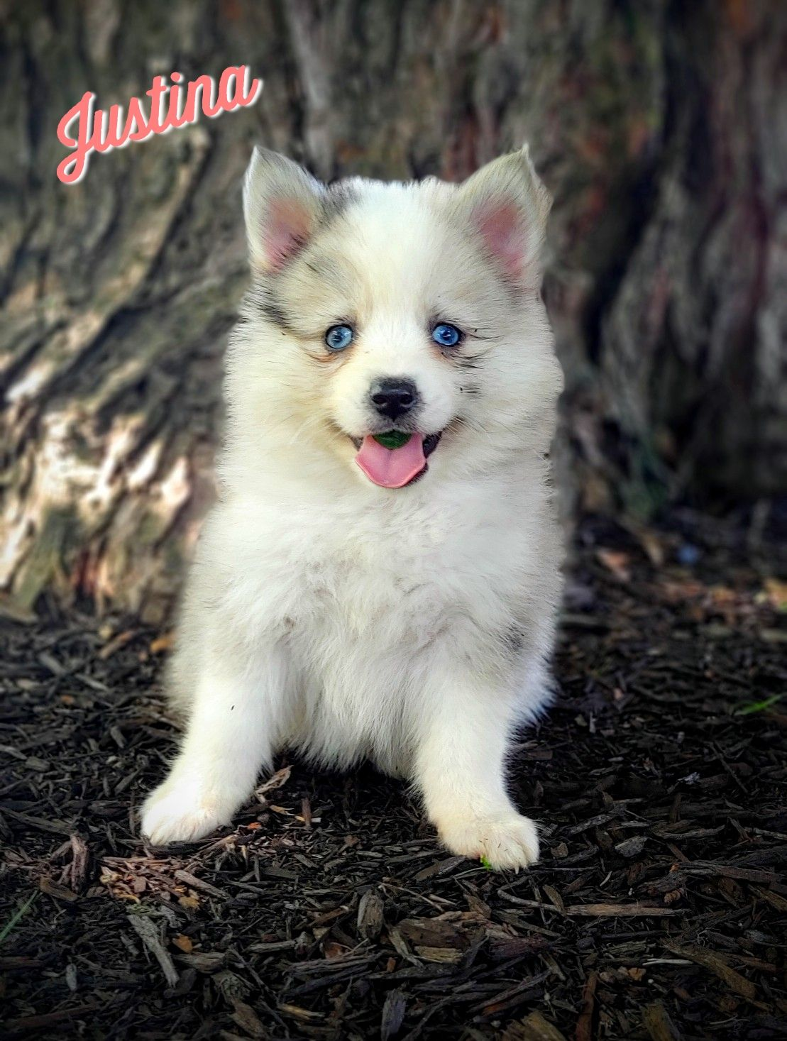 Husky Puppies For Adoption In Ohio