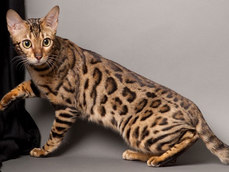 The Most Expensive Cats In The World They Cost A Fortune In 2020 Cat Breeds Bengal Cat Bengal Kitten
